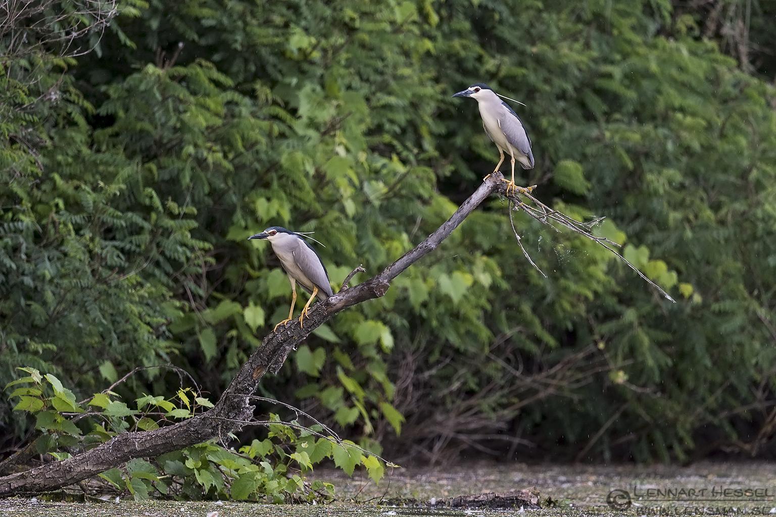 Black-crowned Night Herons Bee-eater Bonanza