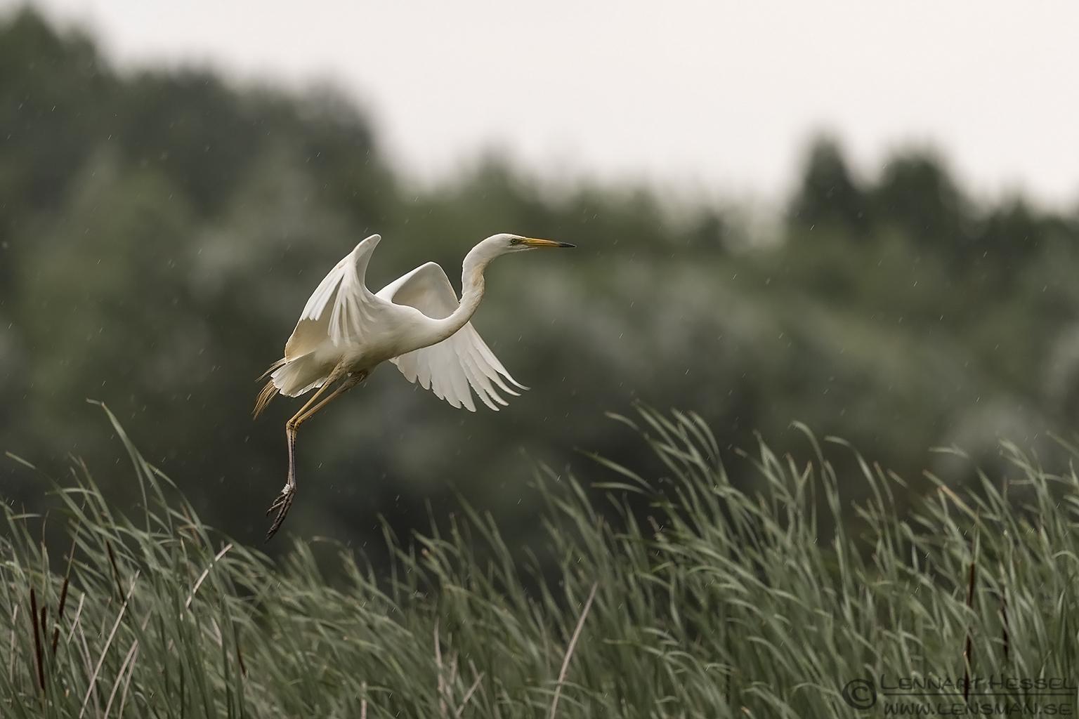 Great White Egret Bee-eater Bonanza