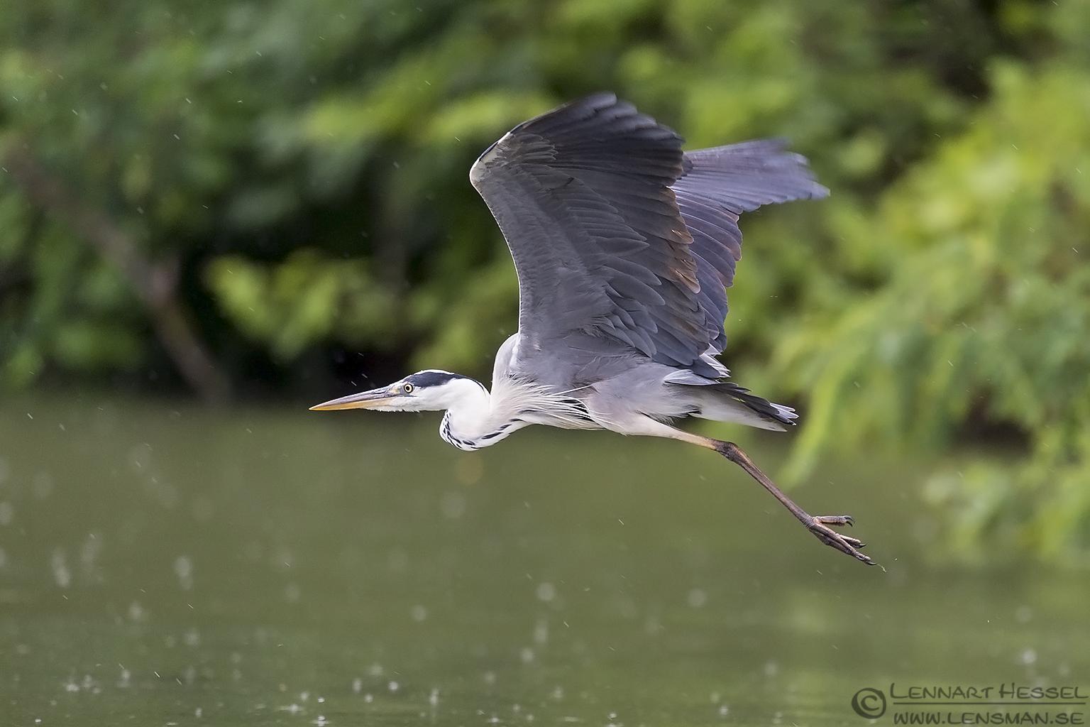 Flying Grey Heron Bee-eater Bonanza