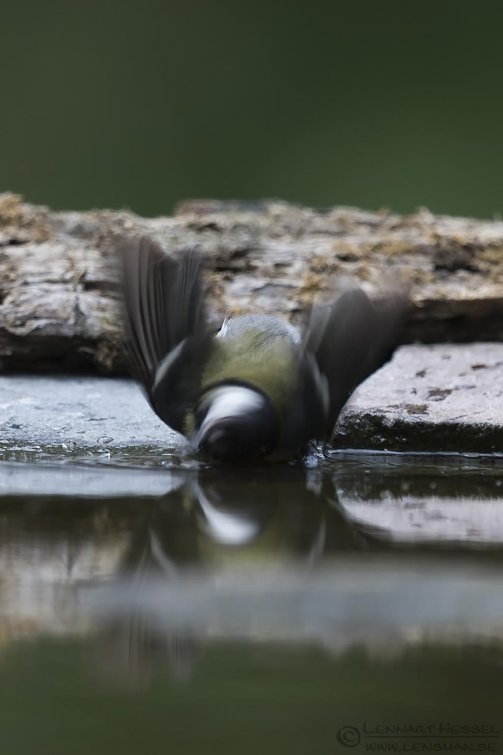 Great Tit Bee-eater Bonanza