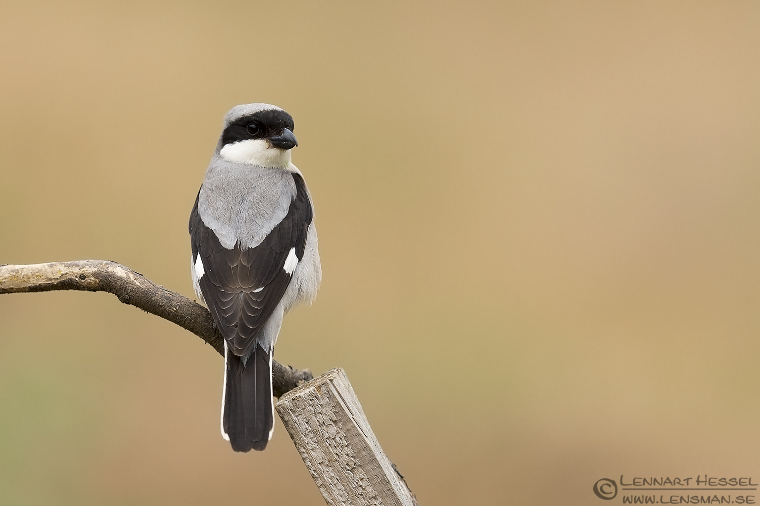 Lesser Grey Shrike Bee-eater Bonanza