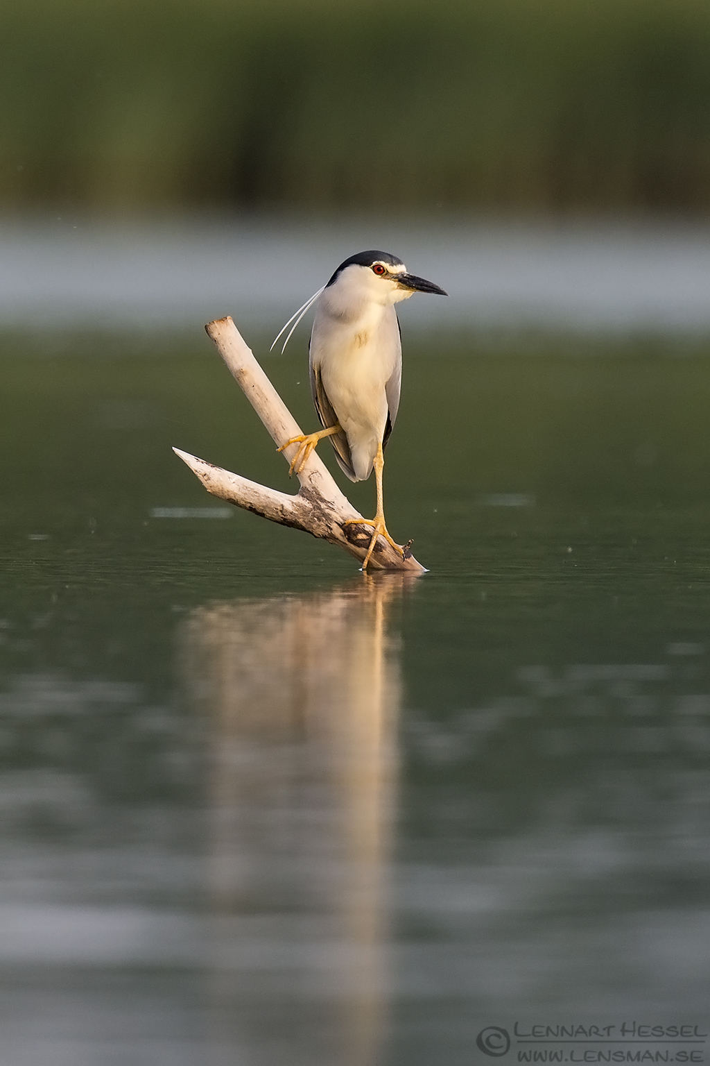 Black Crowned Night Heron bee-eater bonanza