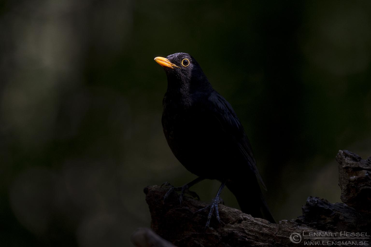 Common Blackbird bee-eater
