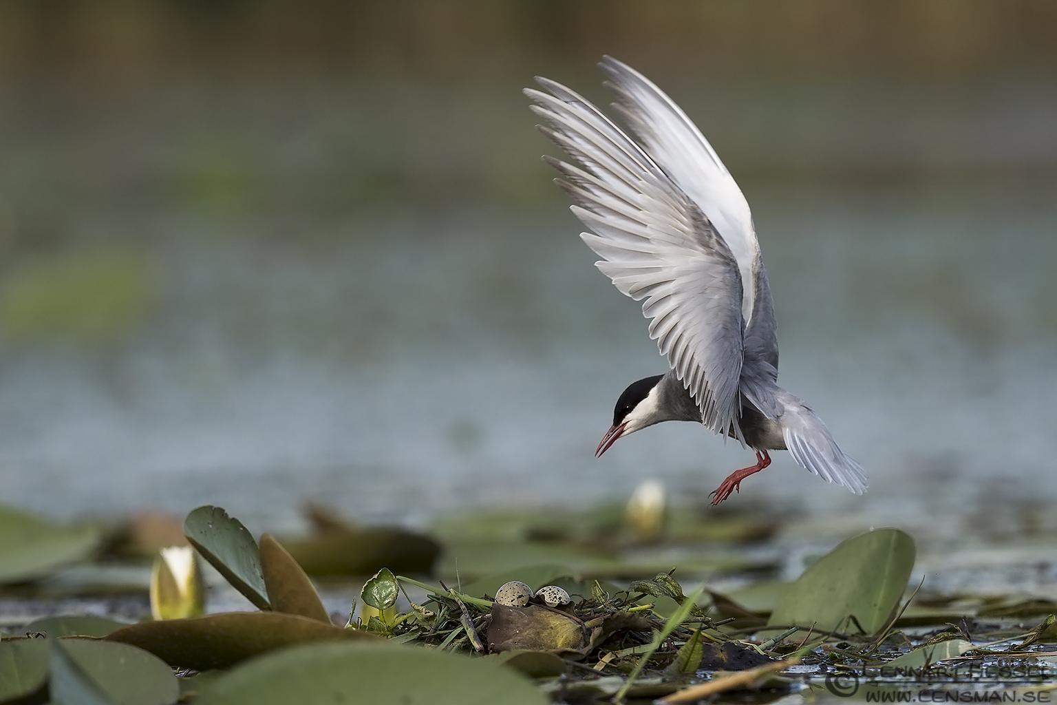 Whiskered Tern bee-eater