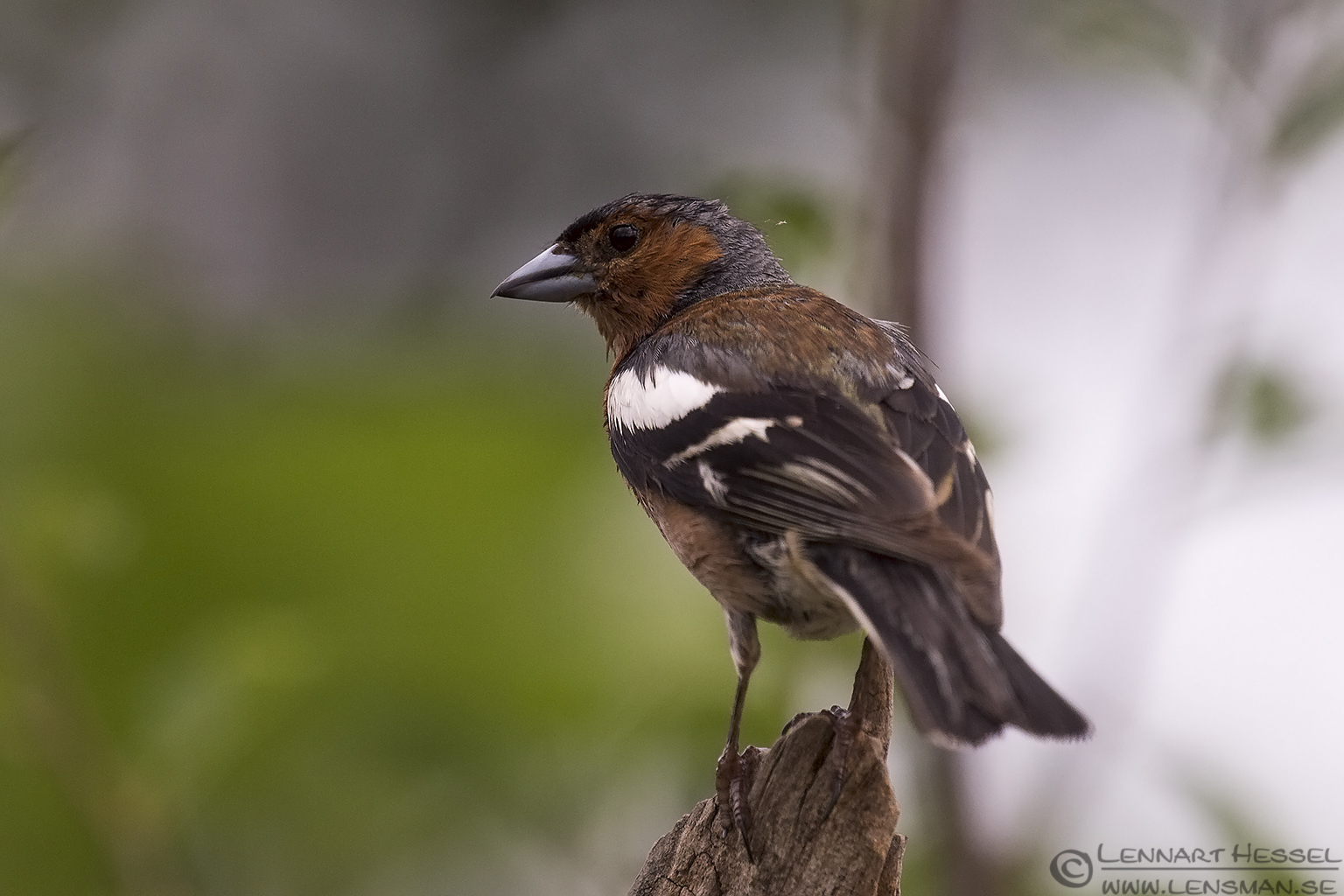 Chaffinch Bee-eater