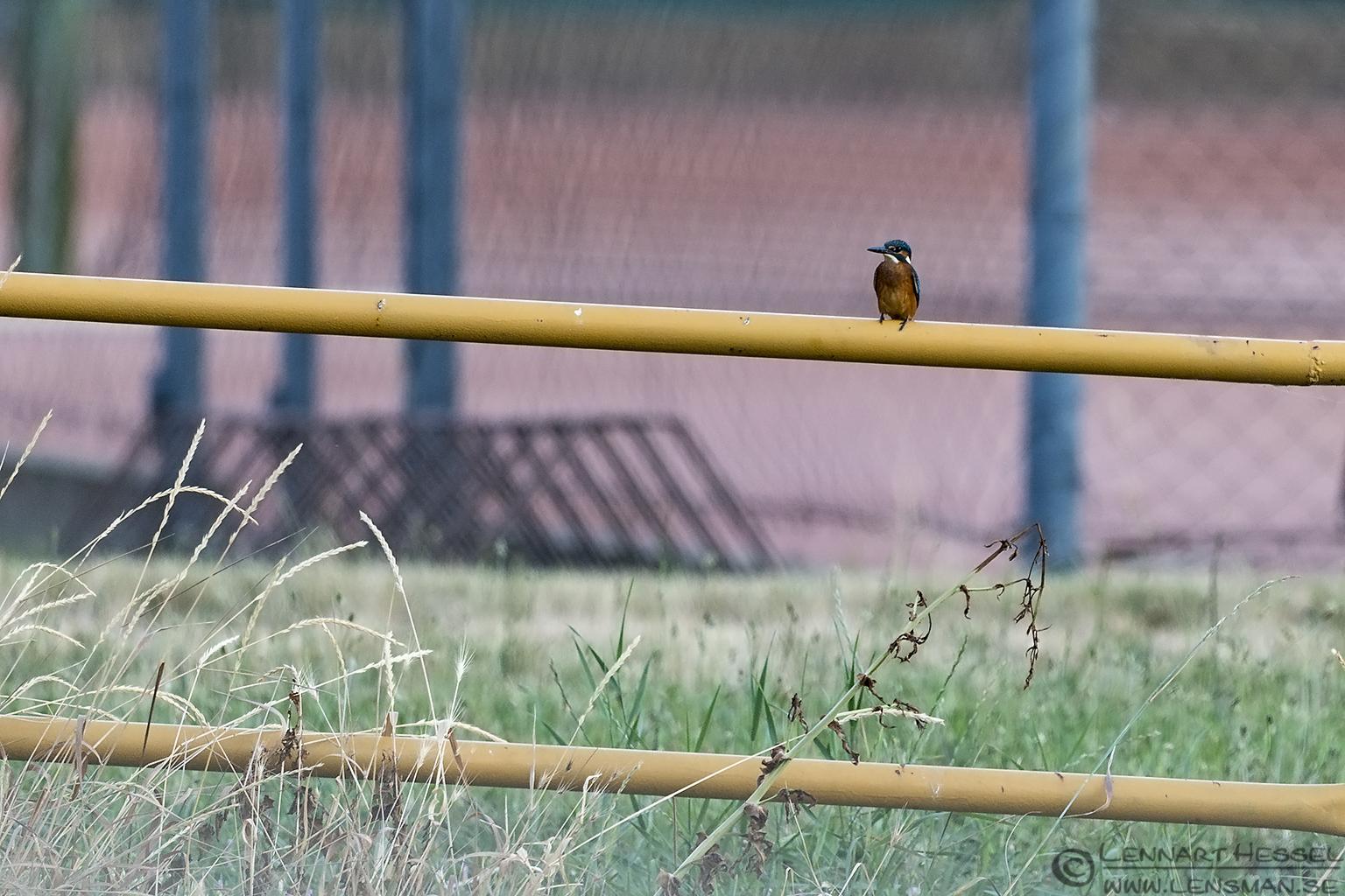 Common Kingfisher Bee-eater
