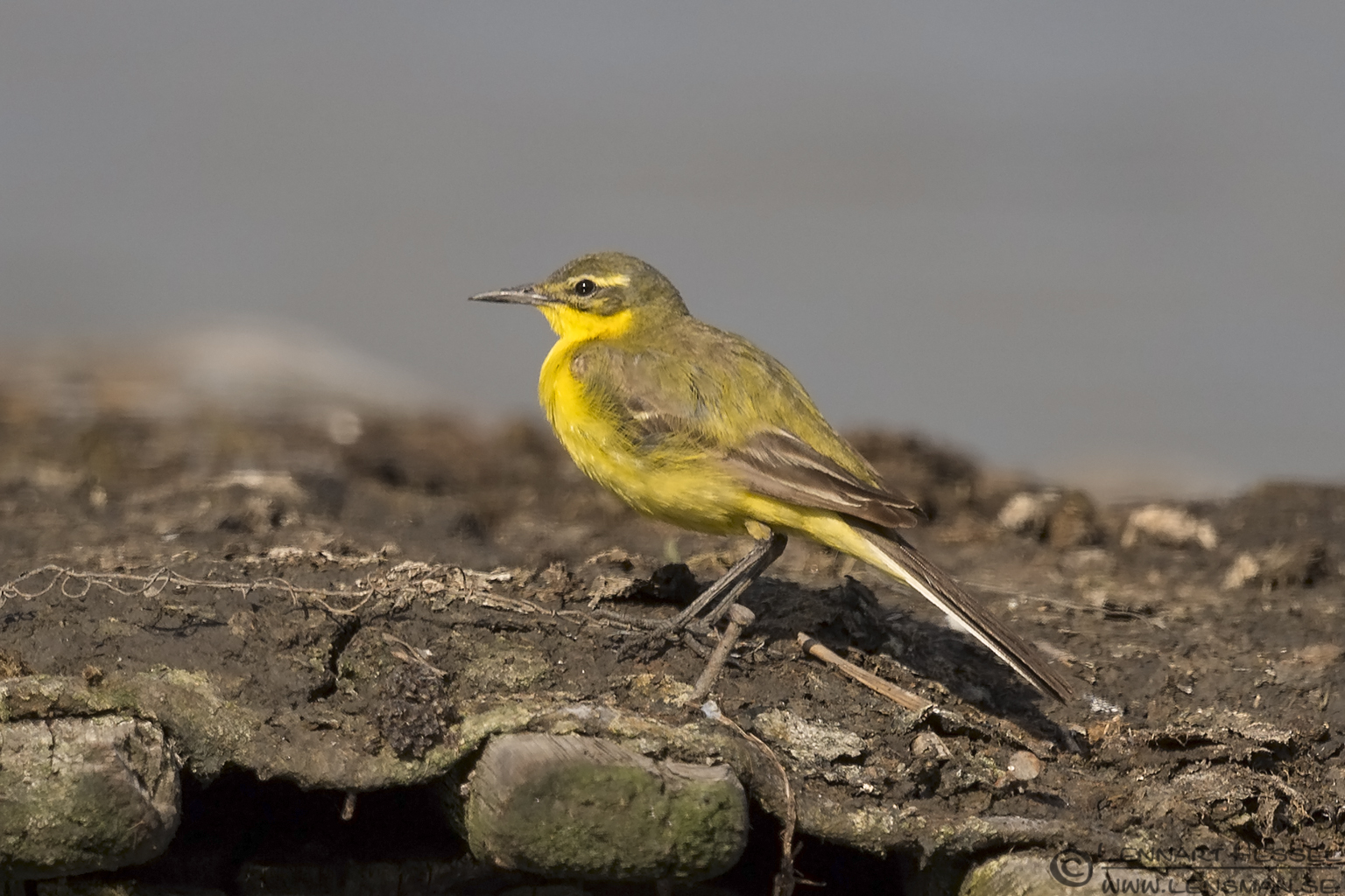 Yellow Wagtail Bee-eater