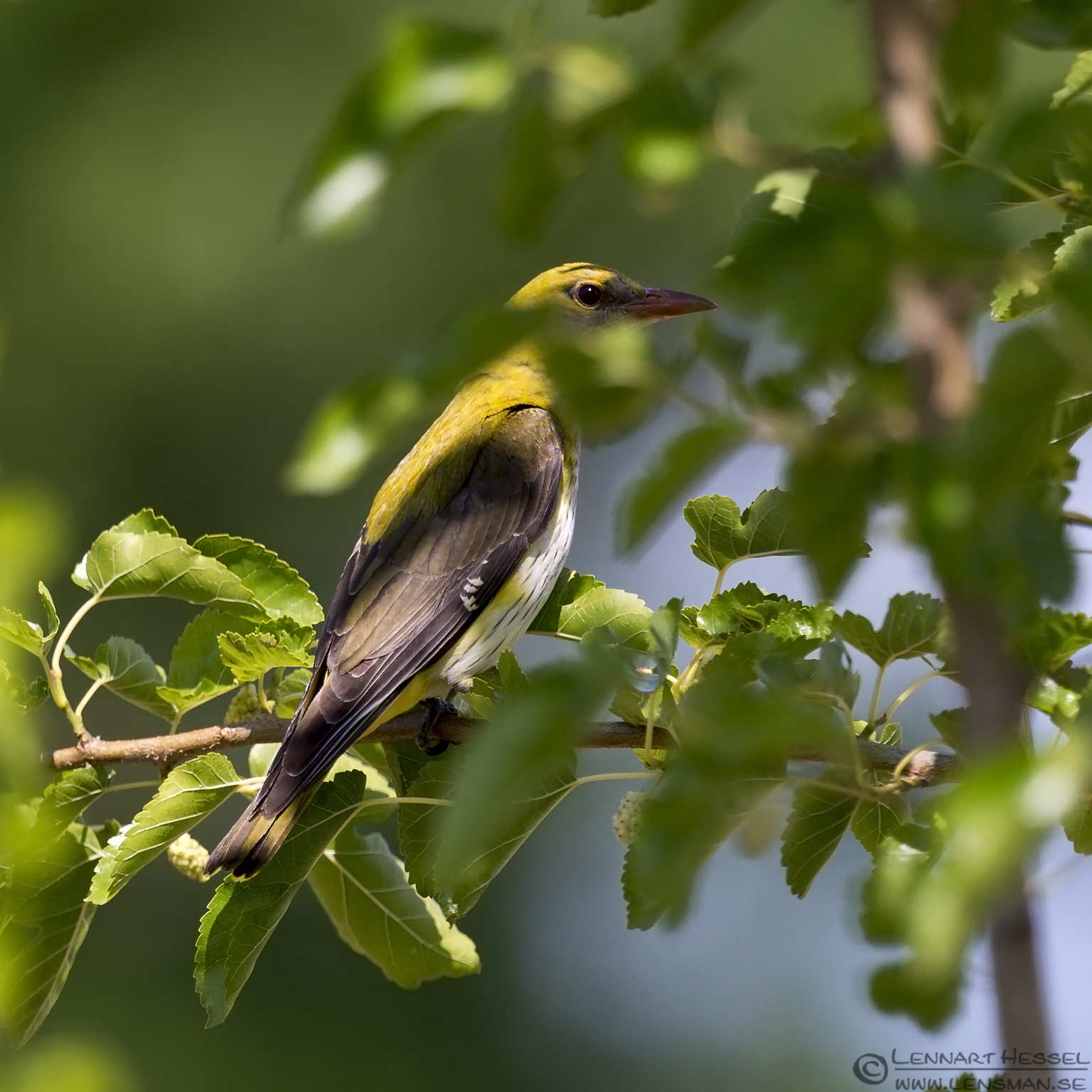 Female Golden Oriole Bee-eater