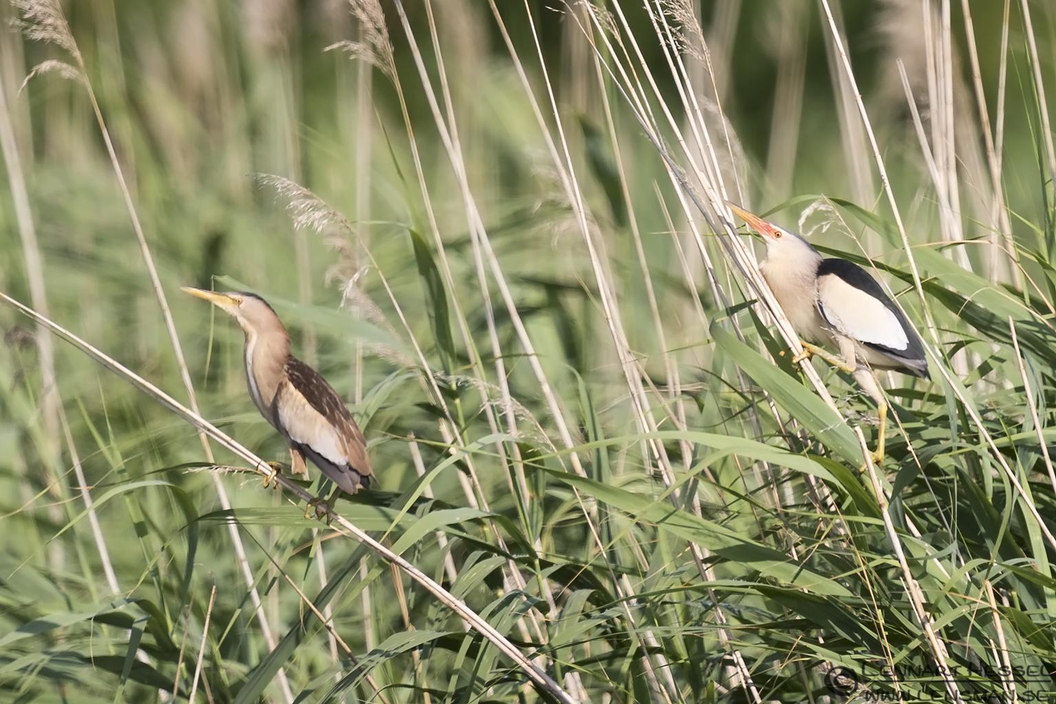 Little Bitterns Bee-eater