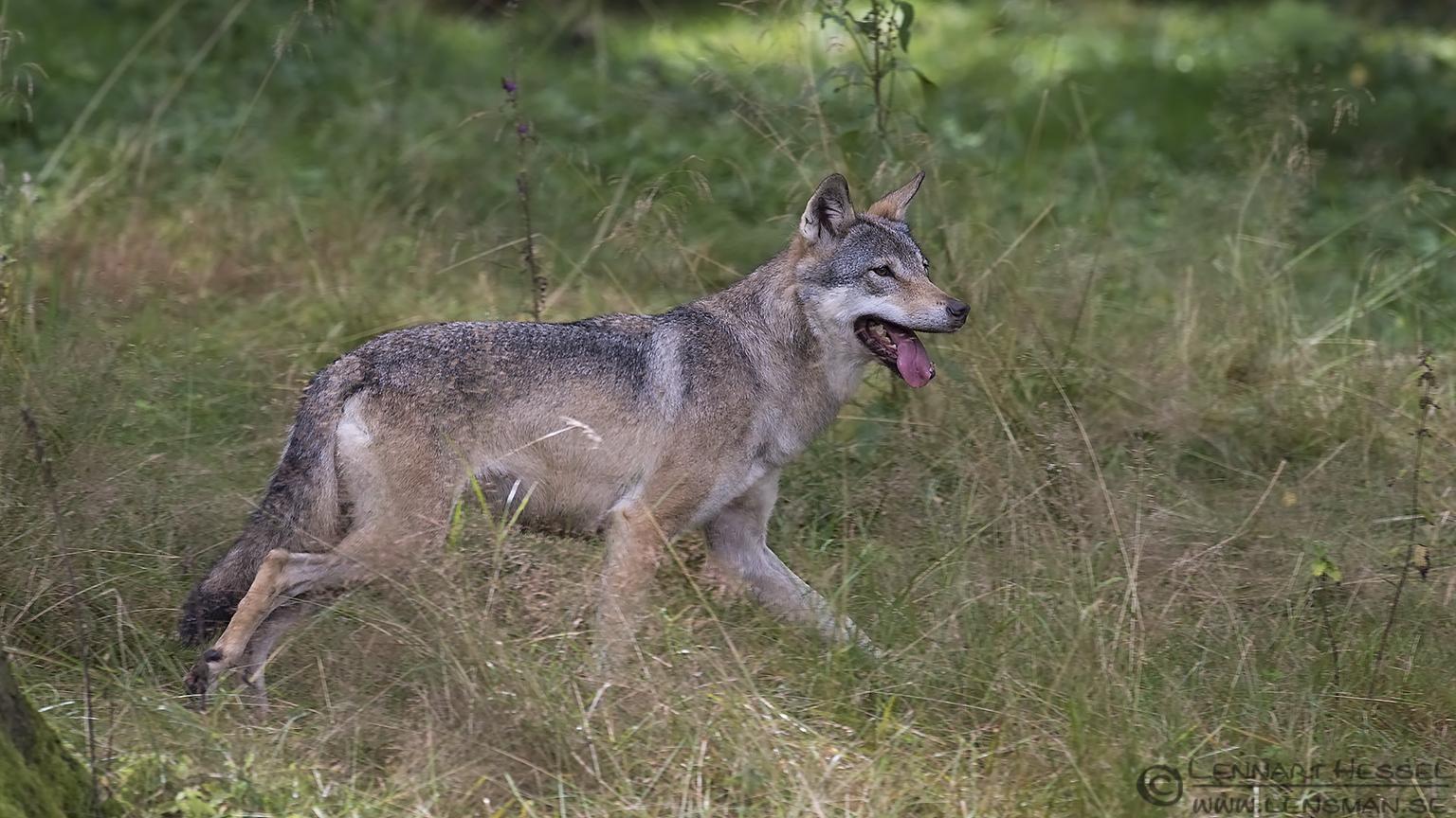 Running Grey Wolf months