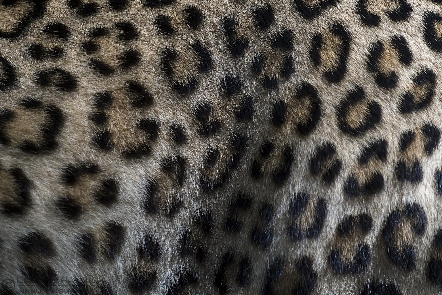 Persian Leopard fur months