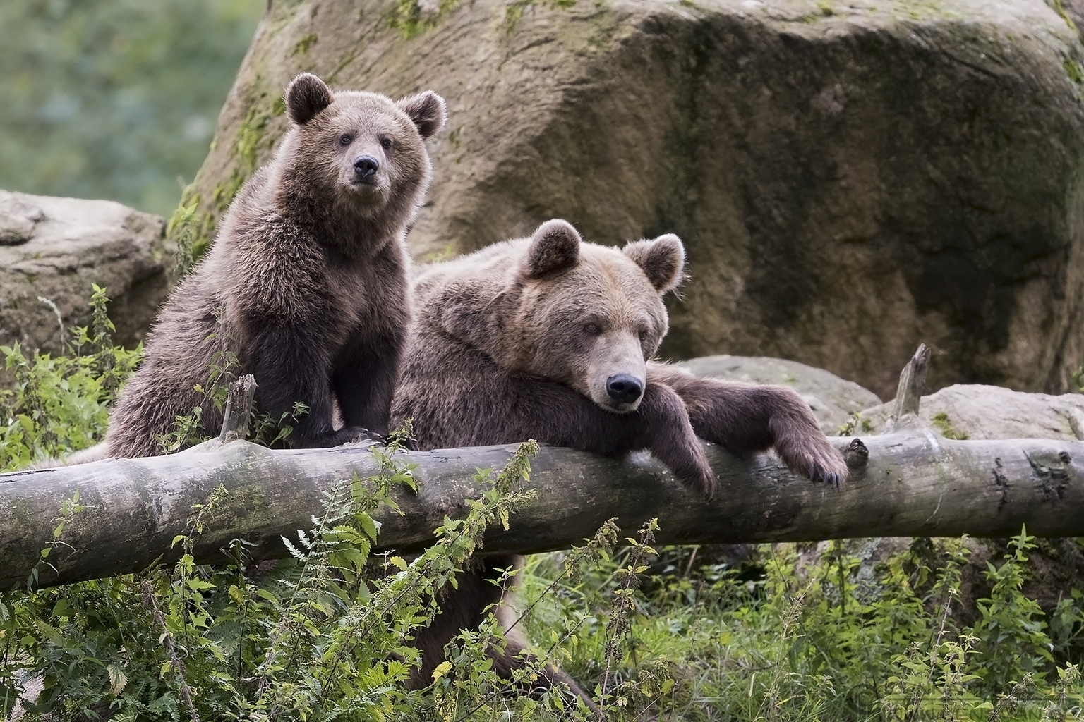Brown Bear family preperations