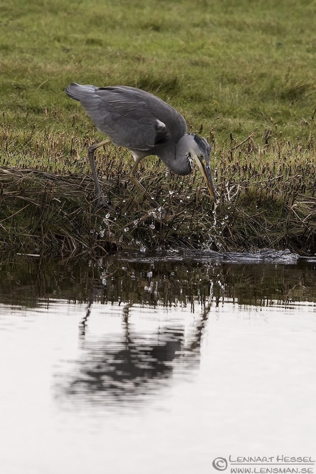 Grey Heron preperations