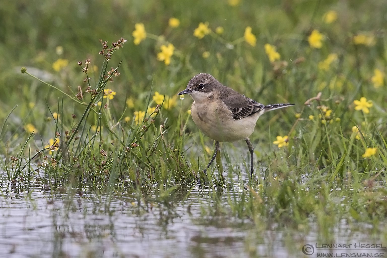 Yellow Wagtail preperations