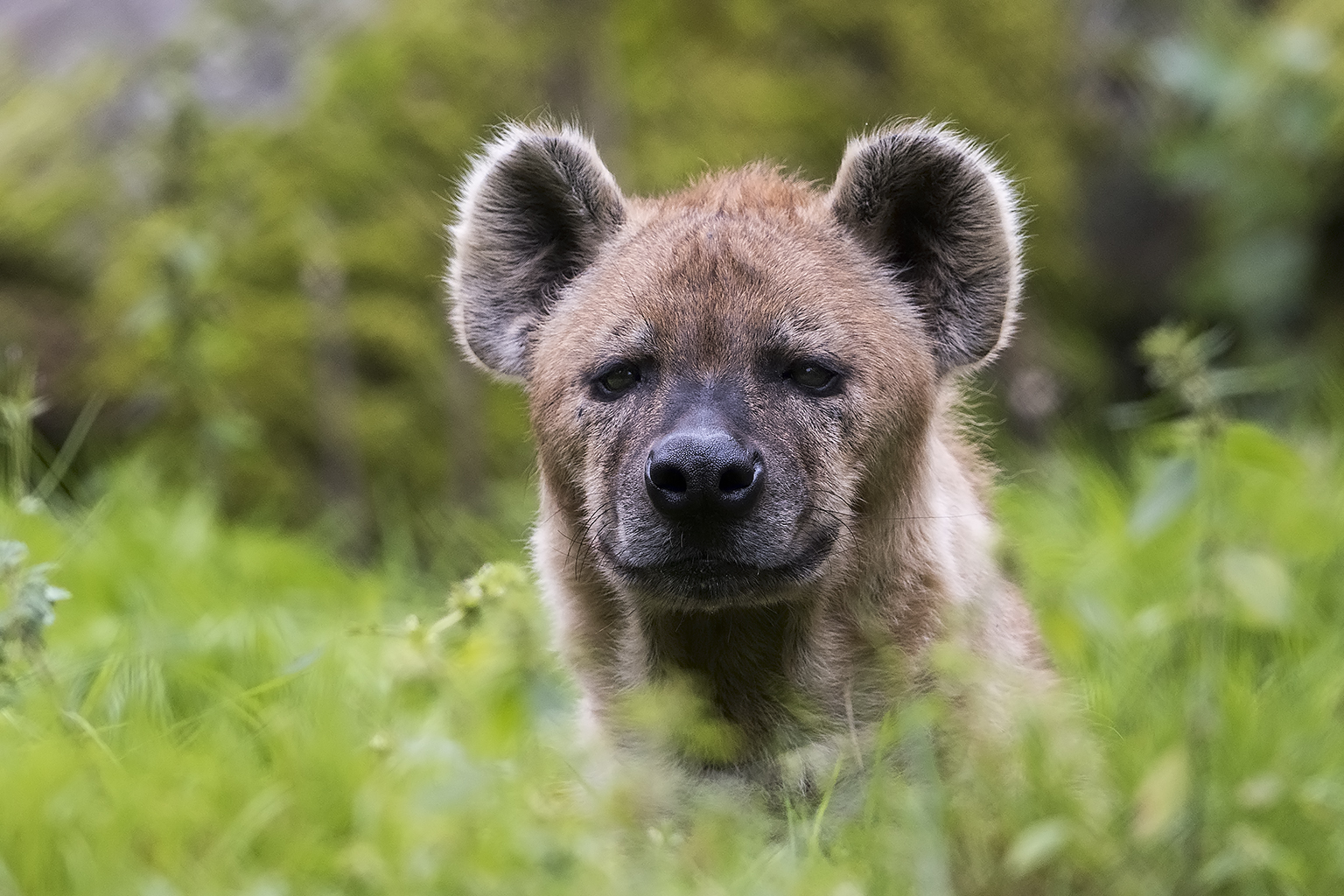 Spotted Hyena preperations