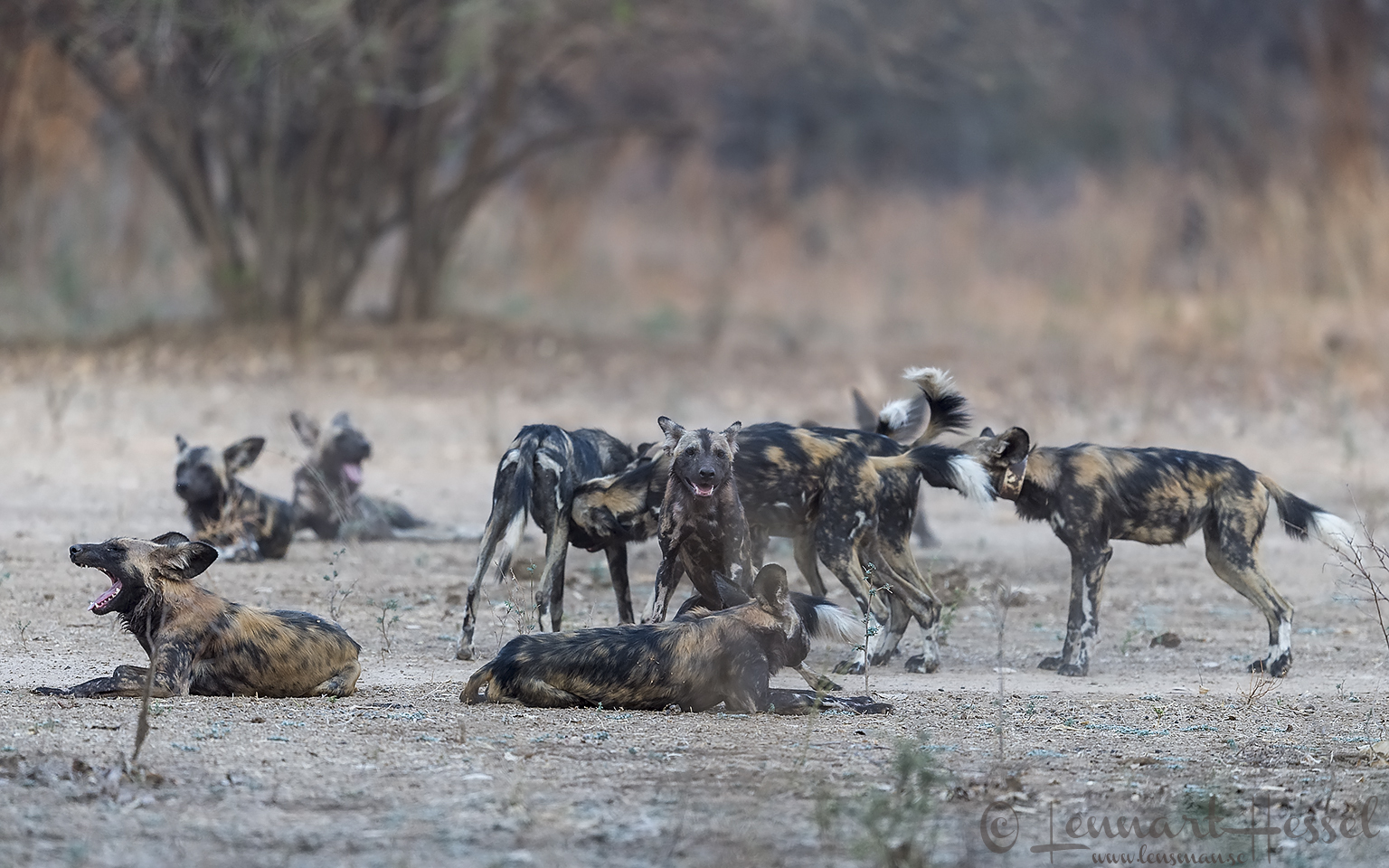 Painted Dogs Mana Pools National Park