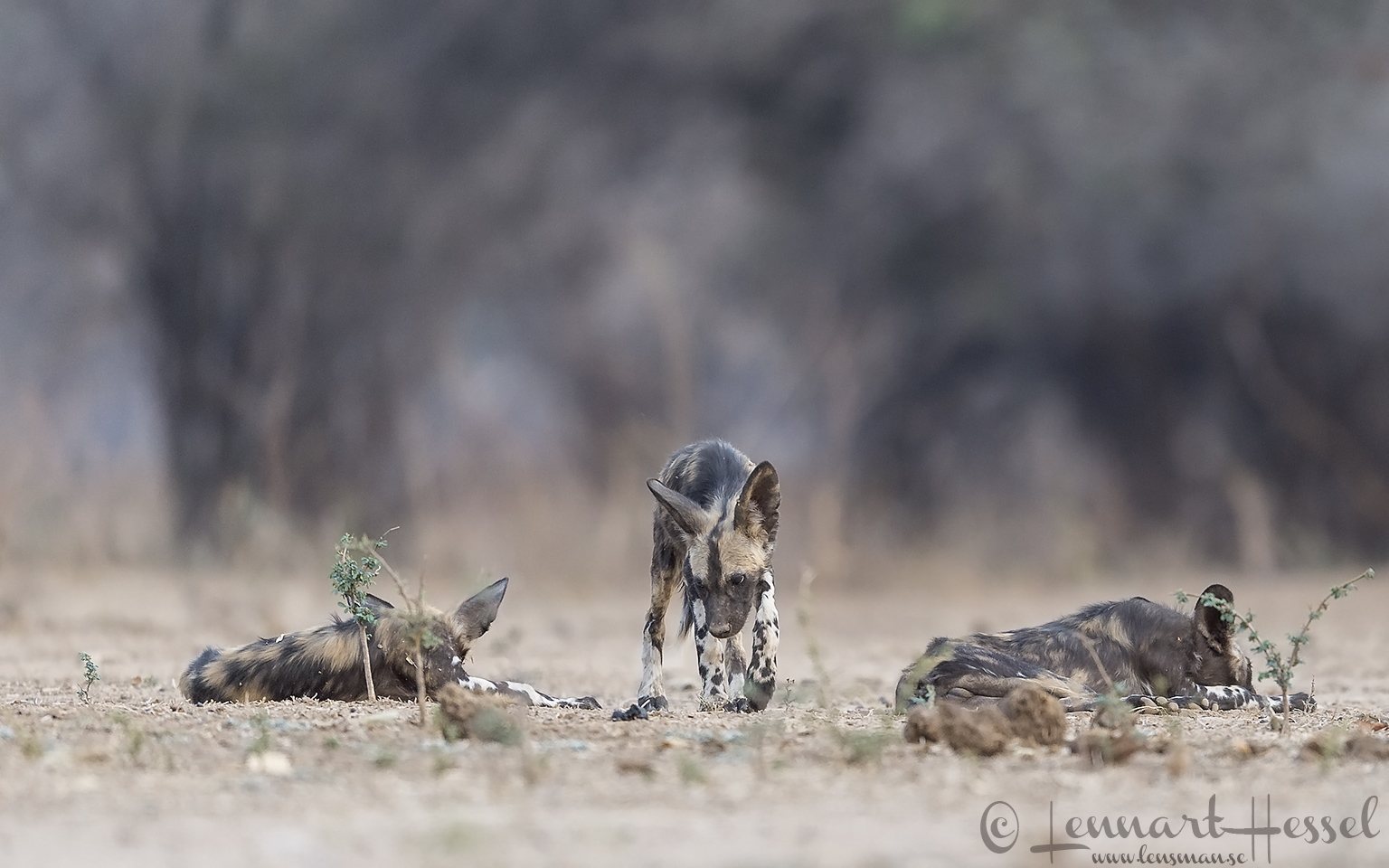 Painted Dogs Mana Pools Mana Pools National Park