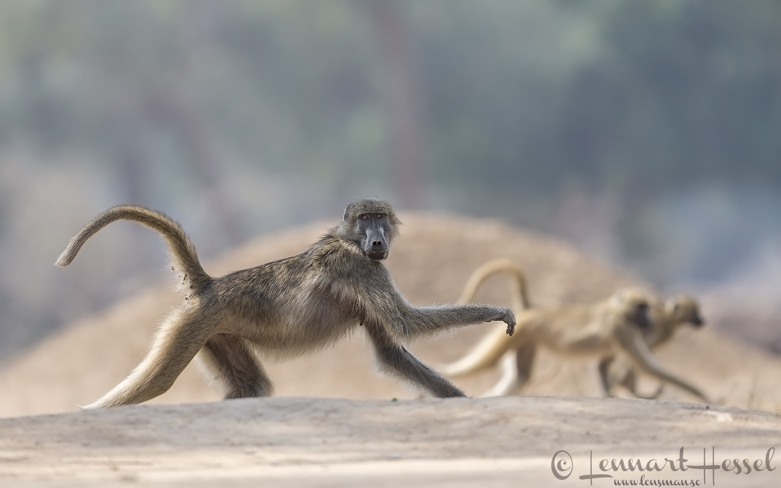 Chacma Baboon in Mana Pools 2015 Mana Pools National Park