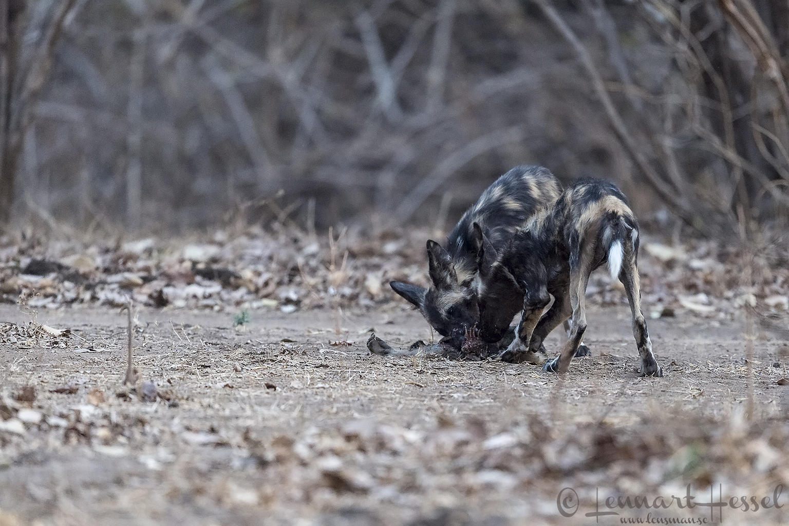 "Painted Dog pups at kill ""the hunt"" Mana Pools National Park"