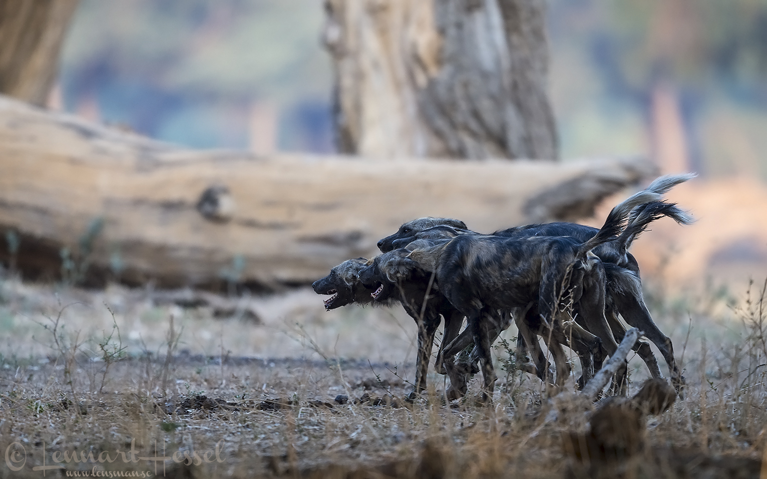 "Painted Dogs group greet ""the hunt"" Mana Pools National Park"