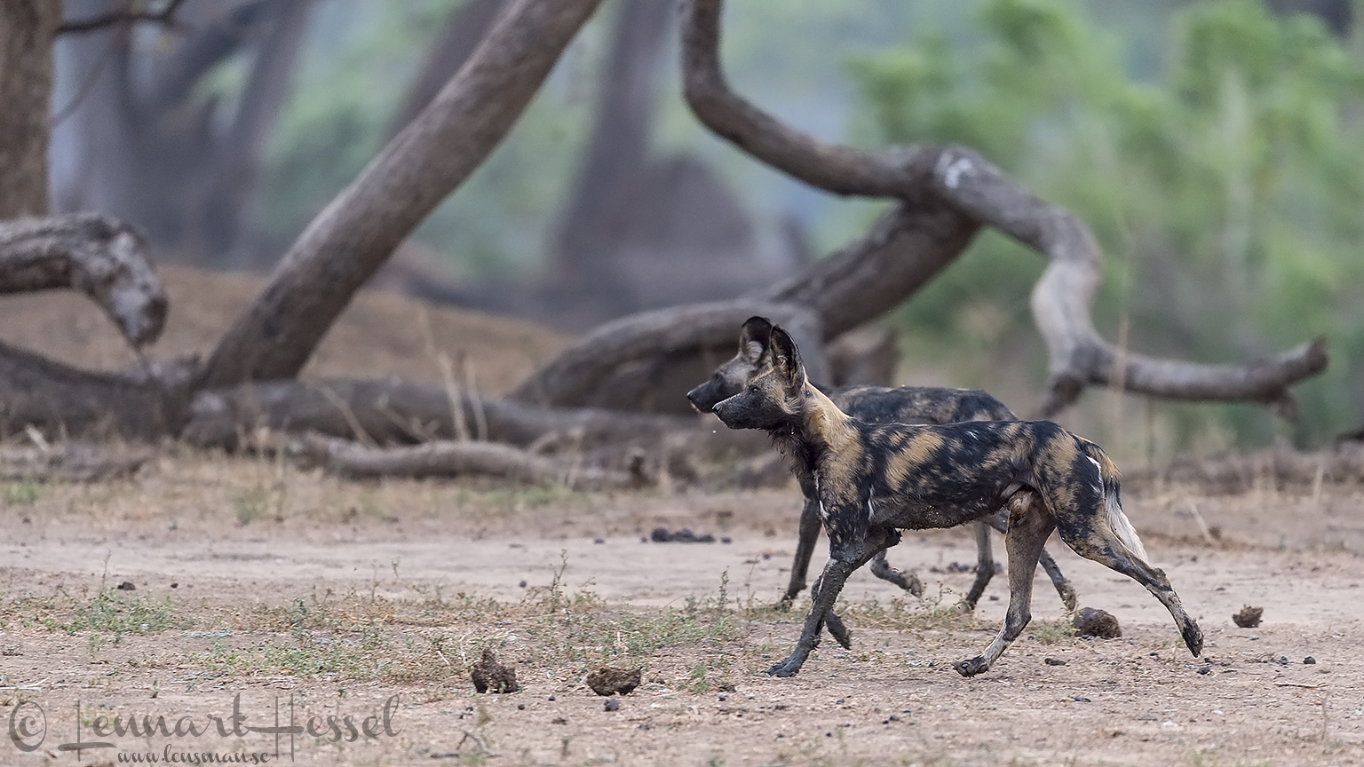 "Painted Dogs hunting mode ""the hunt"" Mana Pools National Park"