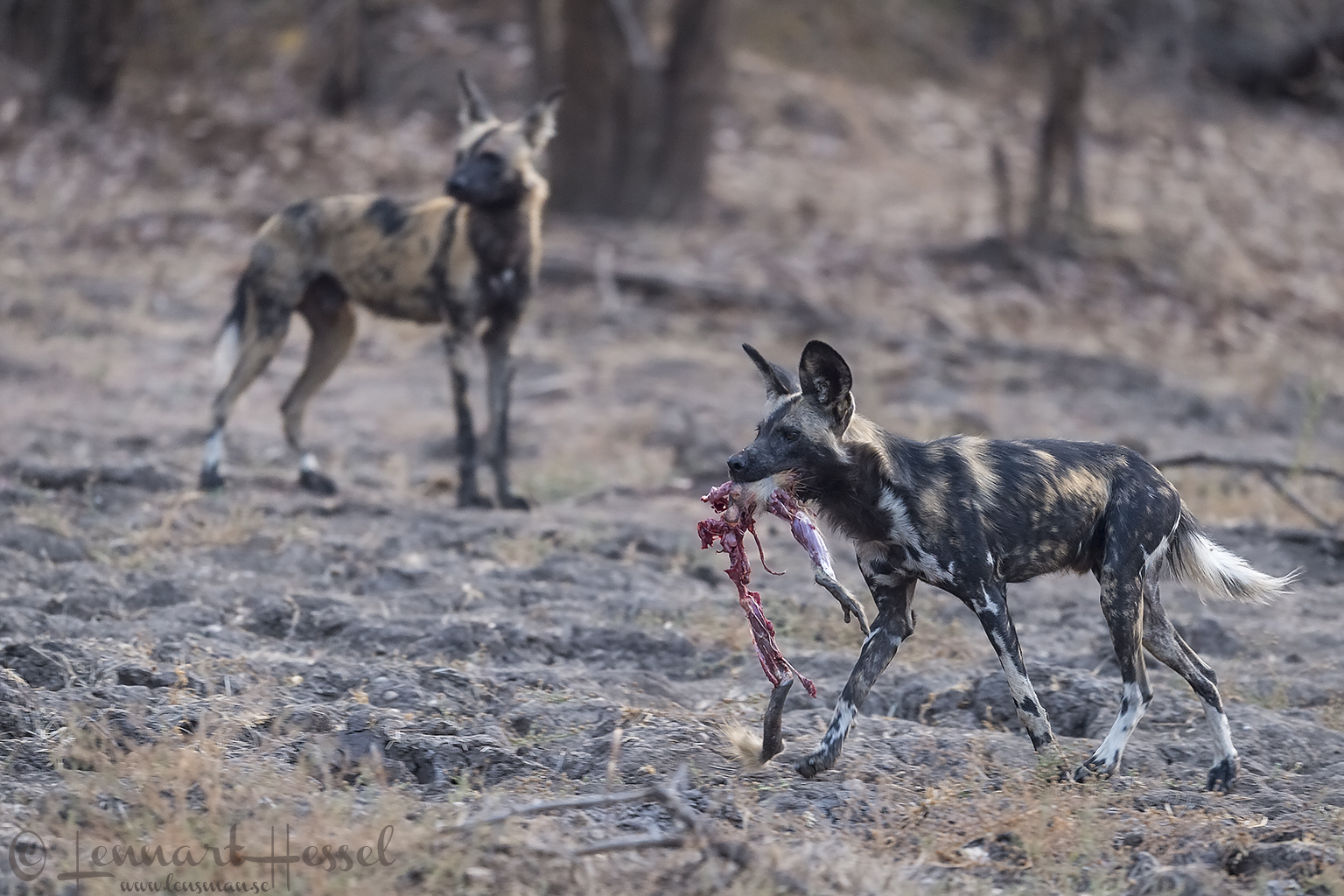 "Painted Dog with Baboon legs ""the hunt"" Mana Pools National Park"