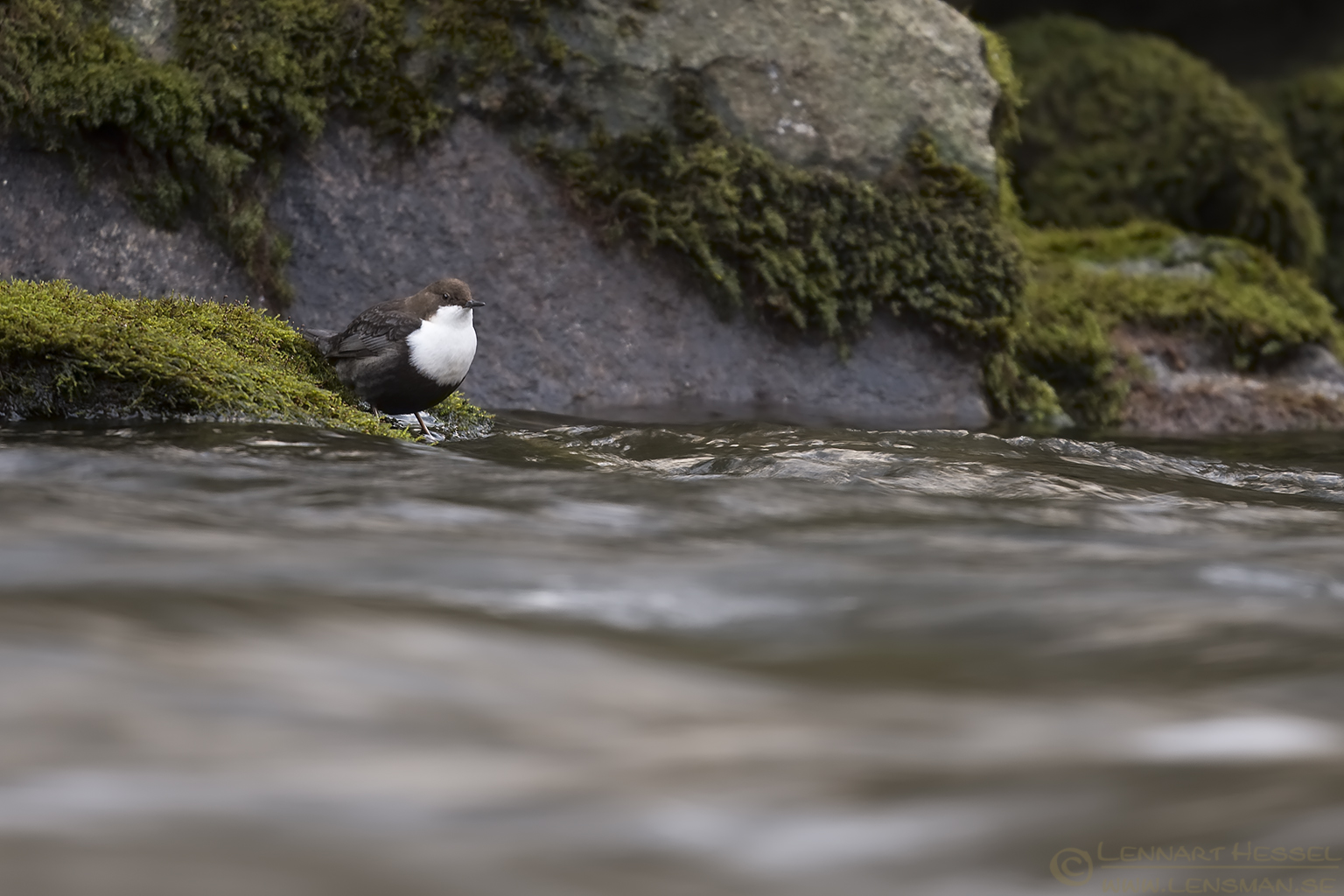 White-throated Dipper flying