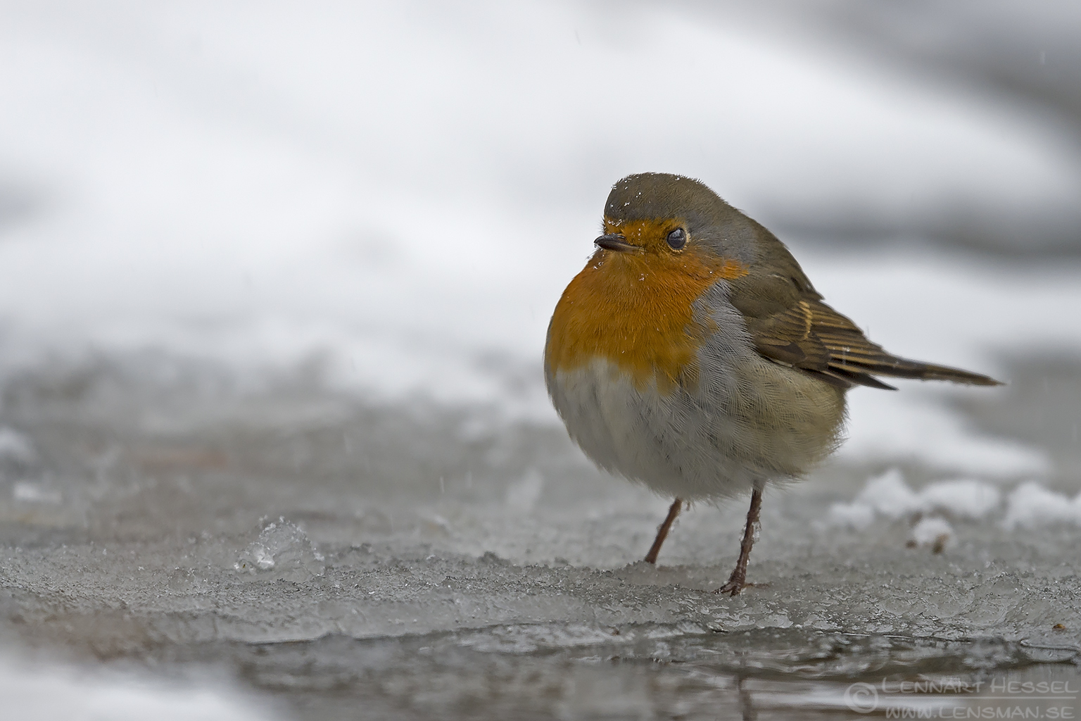 European Robin water mirror