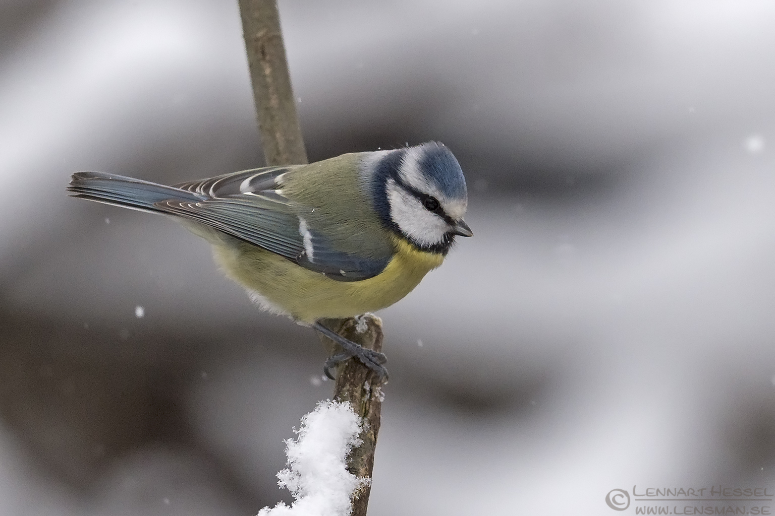 European Blue Tit water mirror