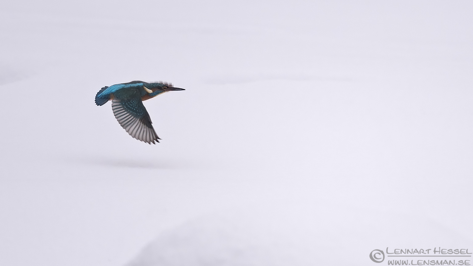 Common Kingfisher flying winter