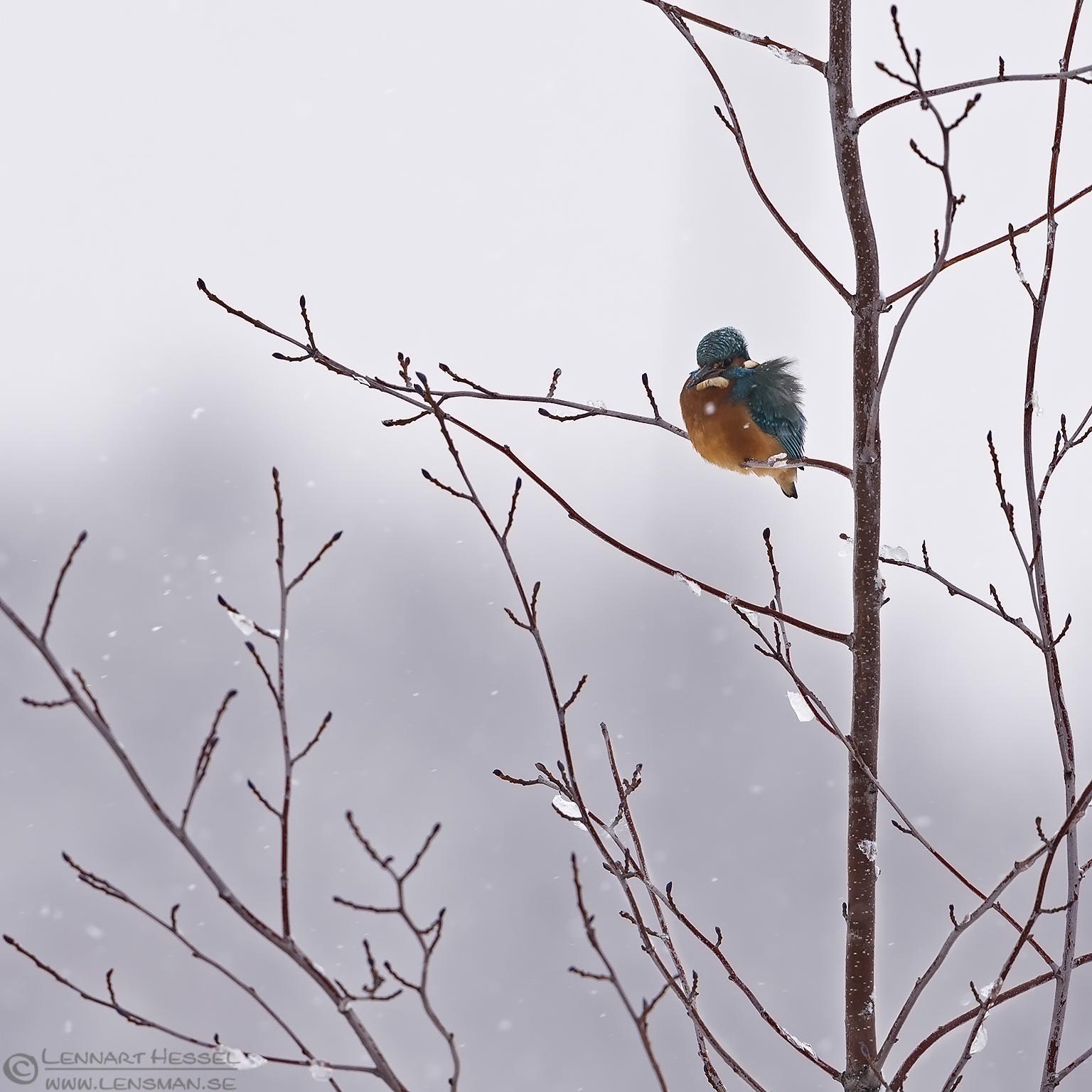 Common Kingfisher waiting winter