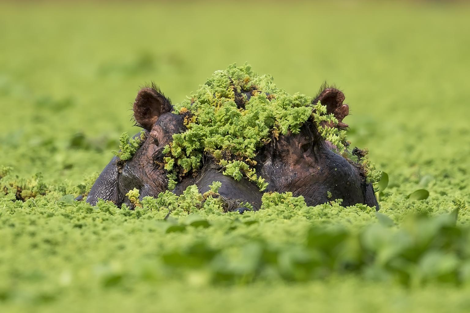 Hippo Background
