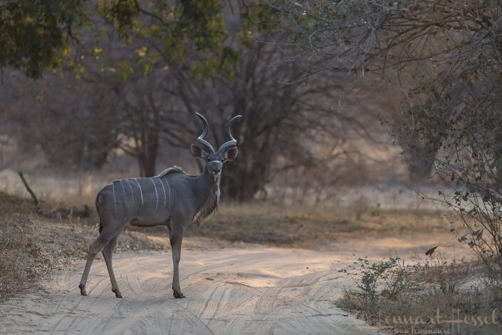 Kud bull Mana Pools National Park