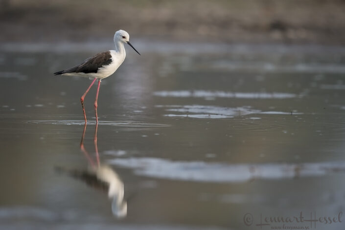 Black-winged Stilt Mana Pools National Park