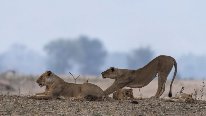 Lioness stretching Mana Pools National Park
