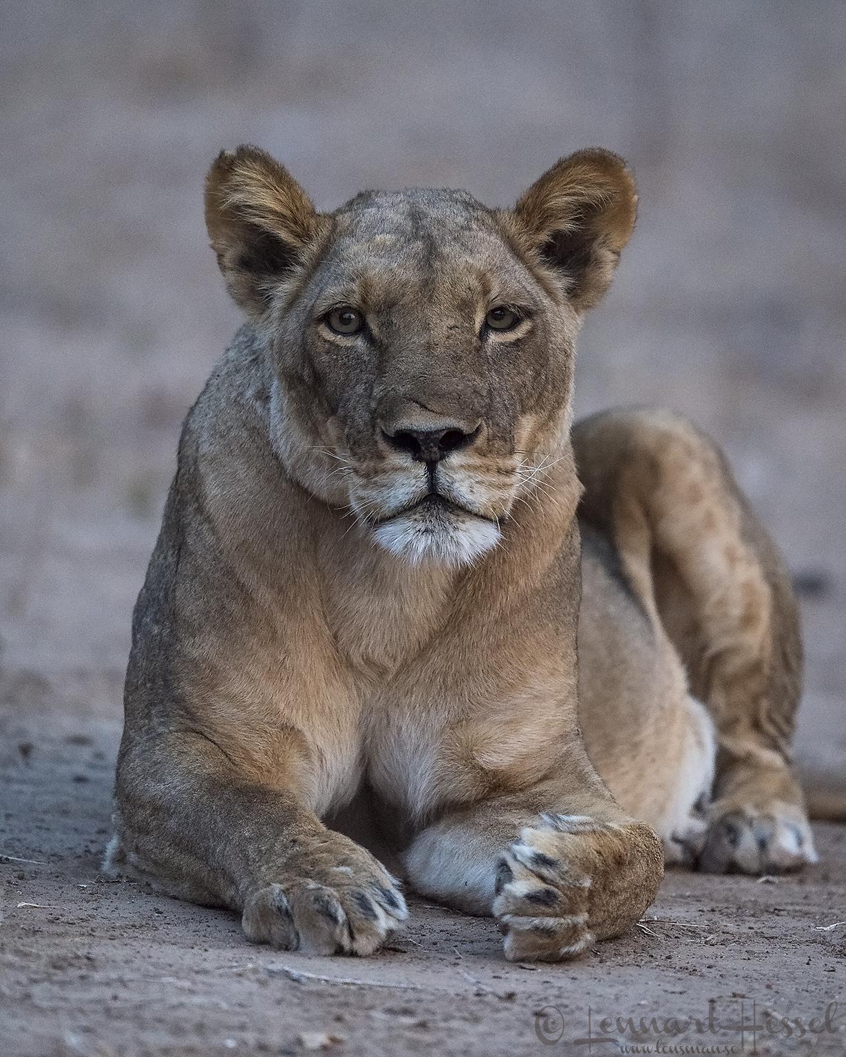 Lioness Mana Pools National Park
