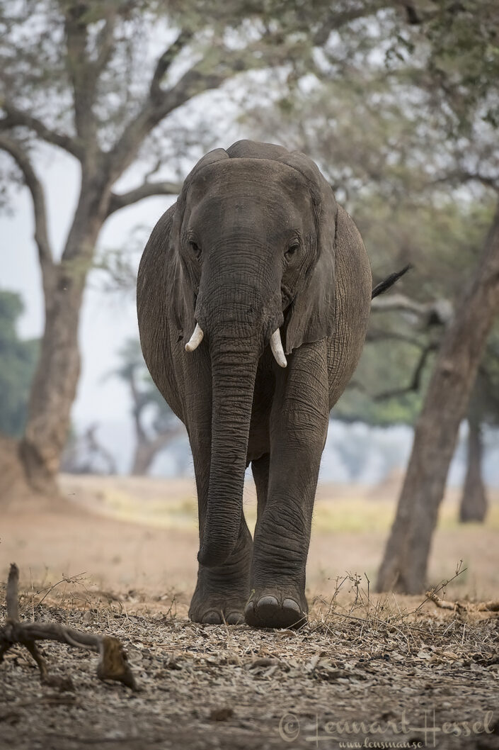 Elephant walking at you Mana Pools National Park