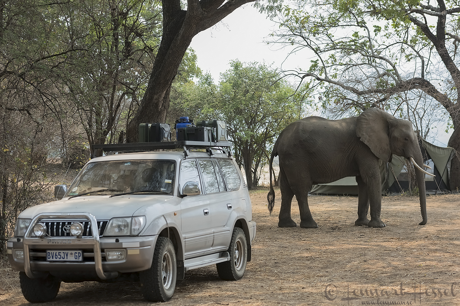 Elephant in camp Mana Pools National Park