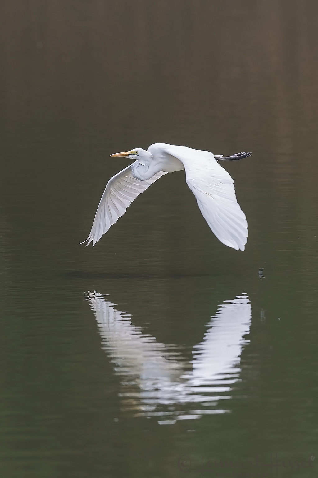 Great White Egret Mana Pools National Park