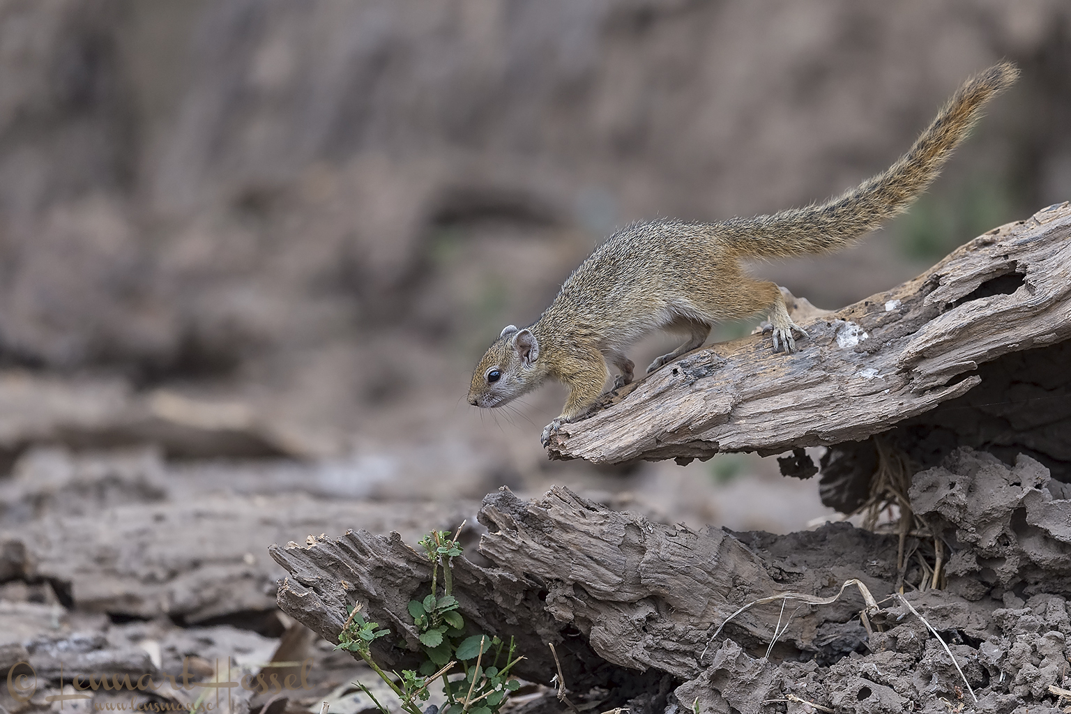 Tree squirrel Mana Pools National Park