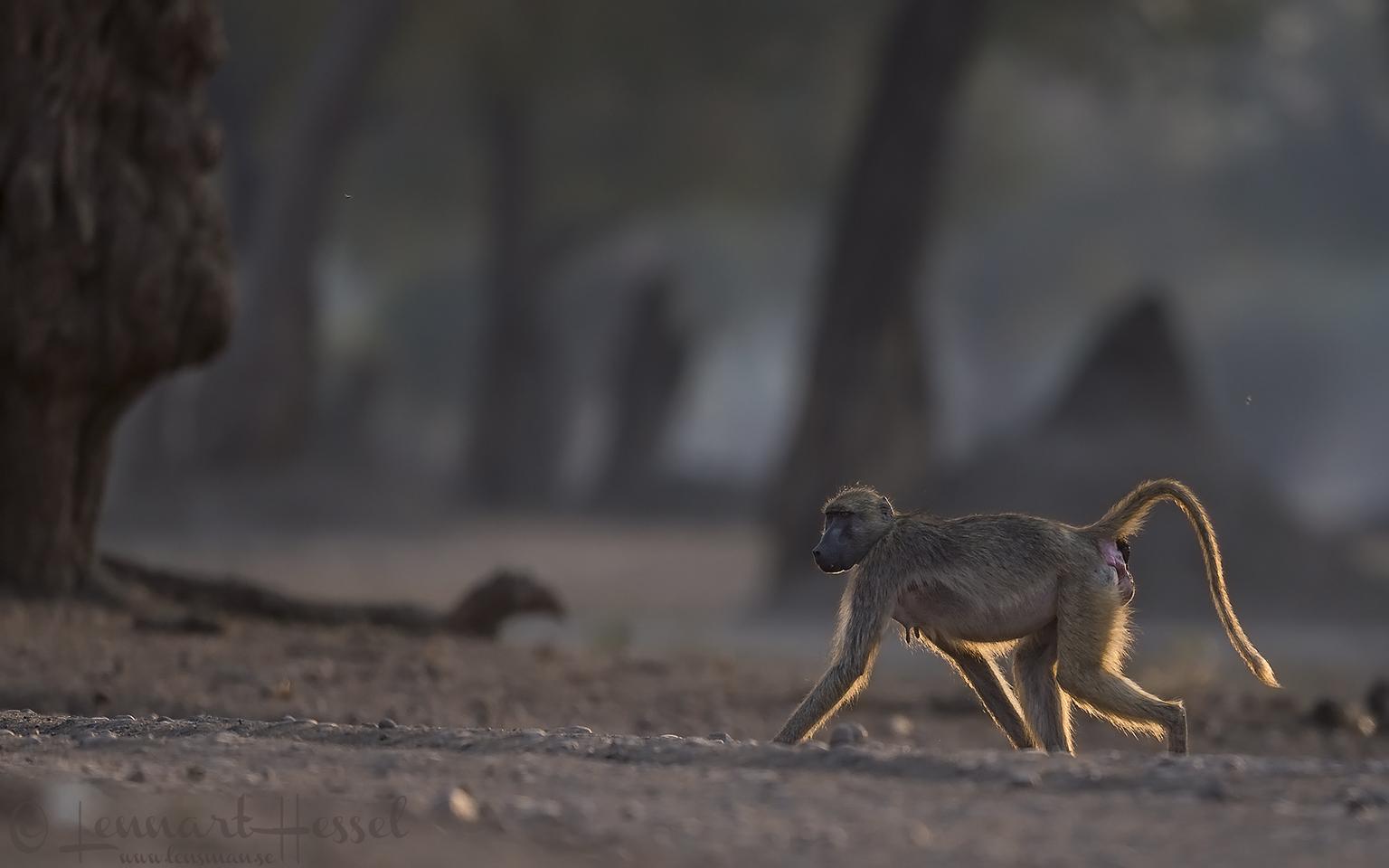 Chacma Baboon backlight Mana Pools National Park