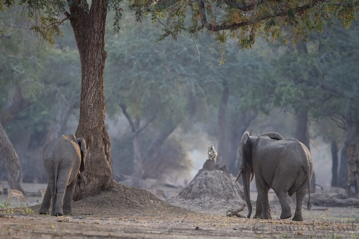 Elephants, Chacma Baboon and Impalas Mana Pools National Park