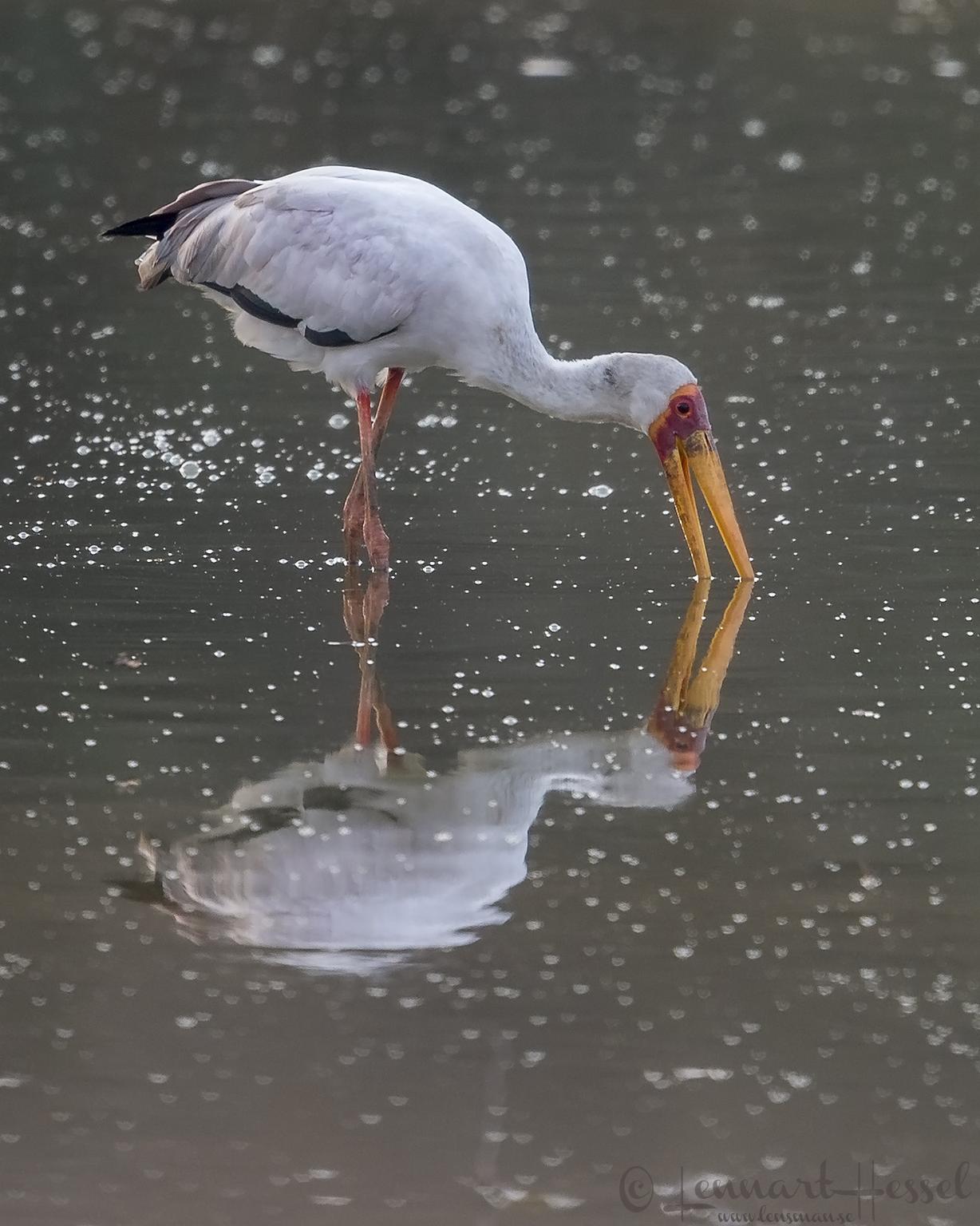 Yellow-billed Stork Mana Pools National Park