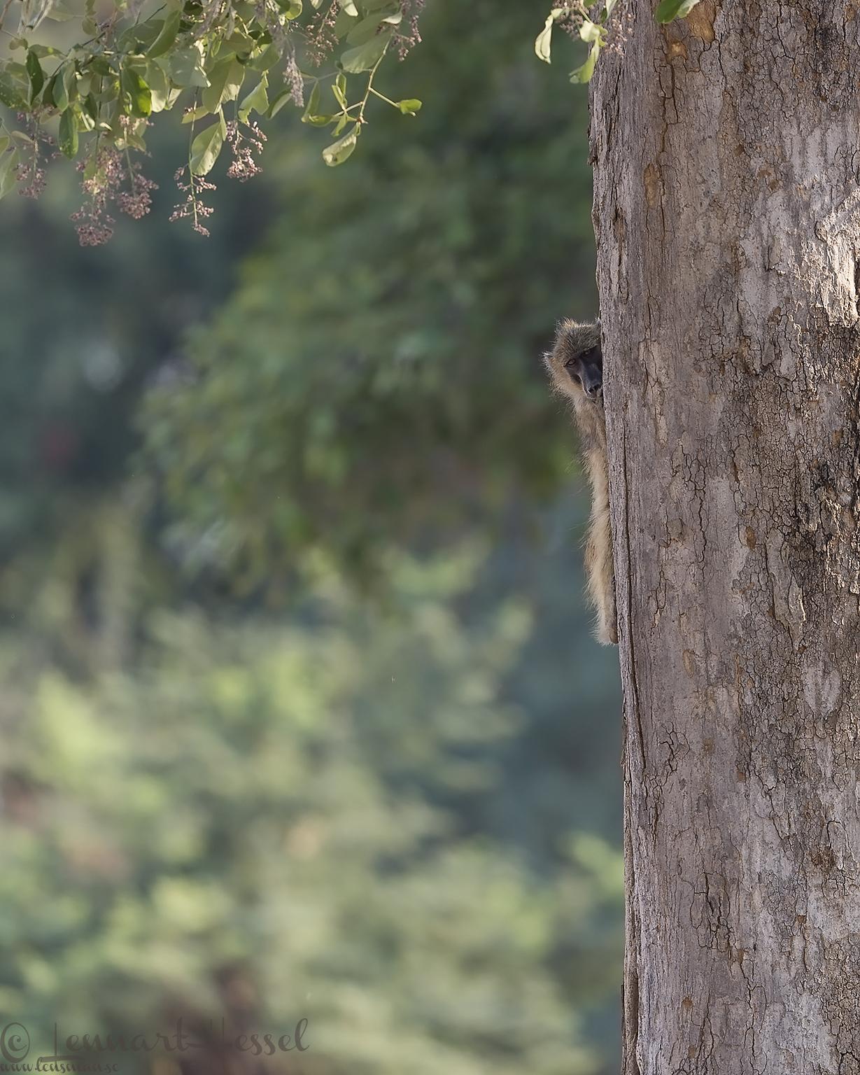 Shy Chacma Baboon Mana Pools National Park