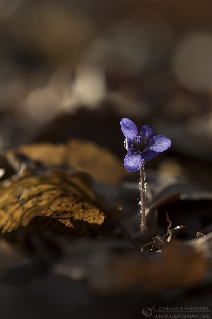Common Hepatica sunny