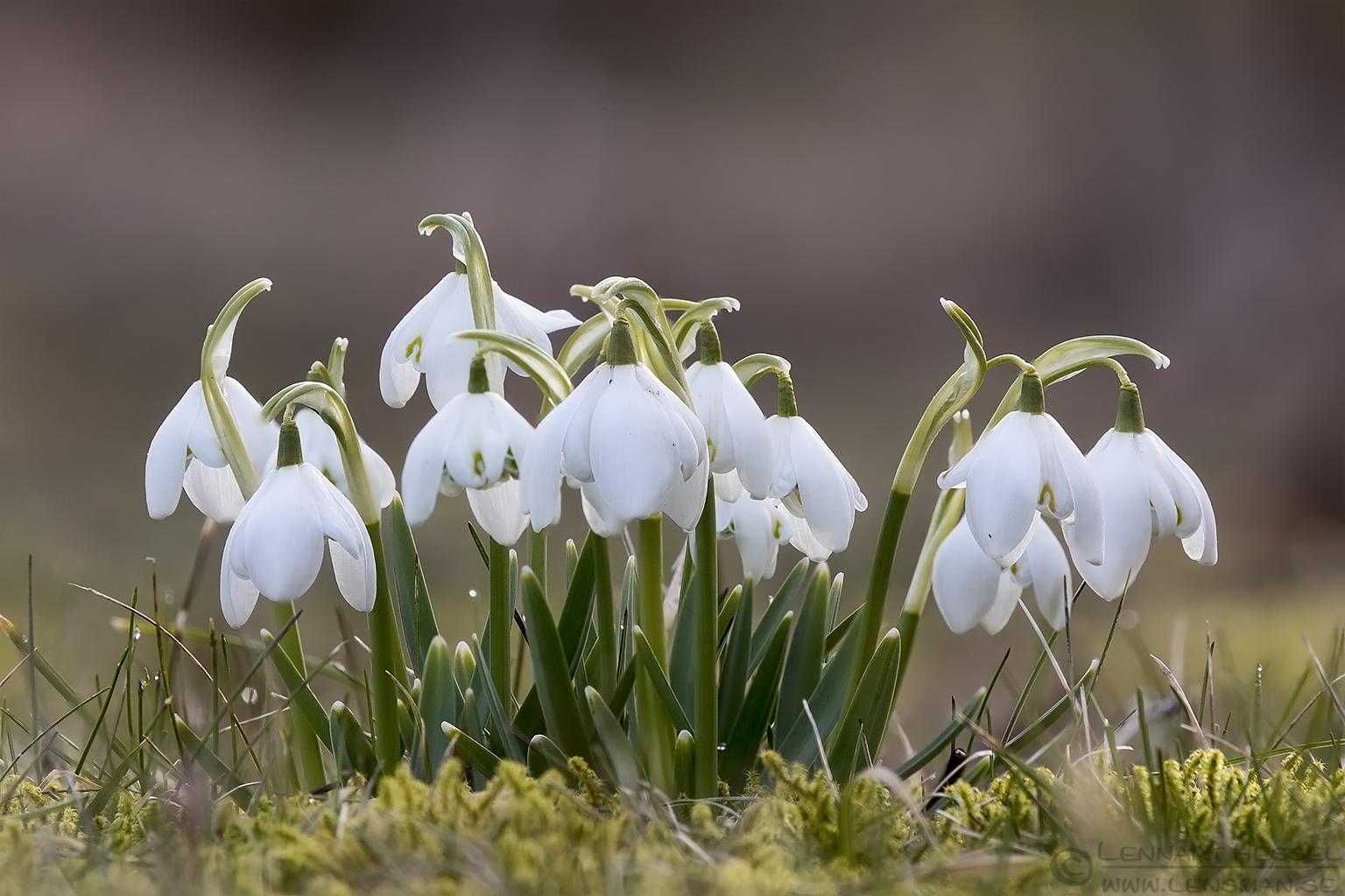 Common Snowdrops sunny