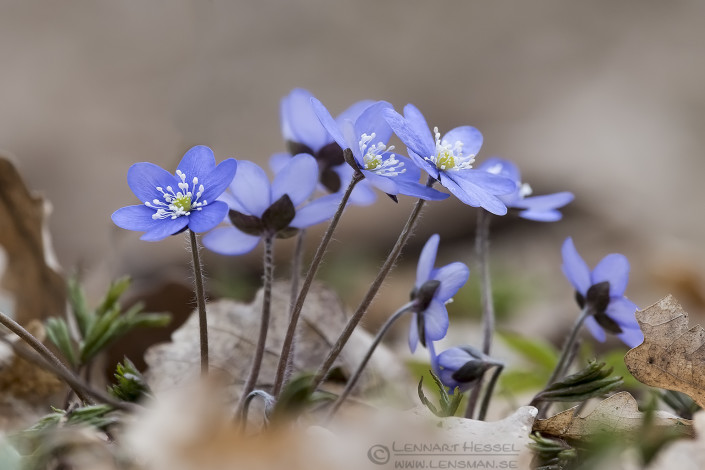 Common Hepaticas fierce