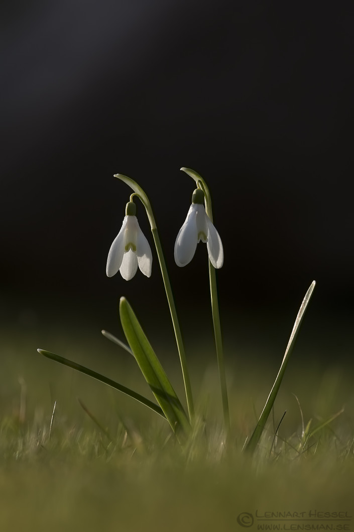 Common snowdrops insects