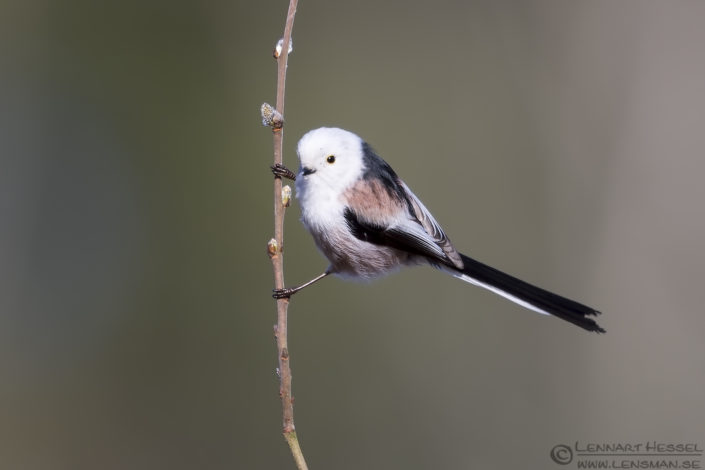 Long-tailed Tit intimate landscape