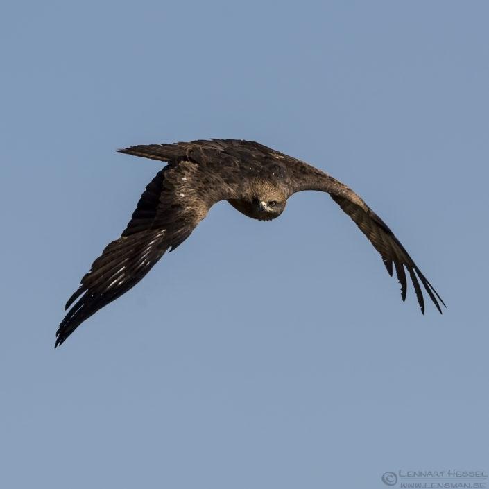 Black Kite Bulgaria 2016